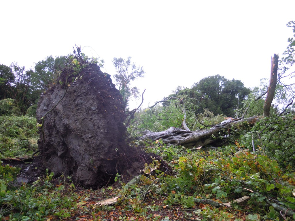 uprooted tree at Clonfert